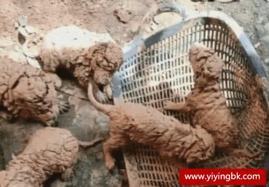 5只小狗在泥巴地里奄奄一息,小伙好心收养,洗干净后肠子都悔青了!